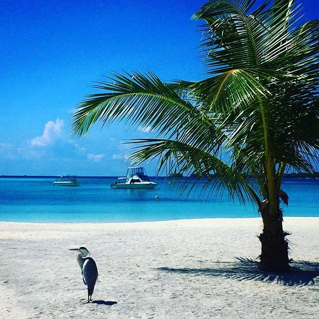 #male #maldives #kandooma #travel #instagood #picoftheday #palmtrees #sun #easter #traveling #instatravelhub #holiday #vacation #travelling #hot #love #ilove #instatravel #tourist #instalife #tourism #ihg #holidayinn #maldivesislands #maledives2016 #beach #sand #clouds #heron #sunsetlover
