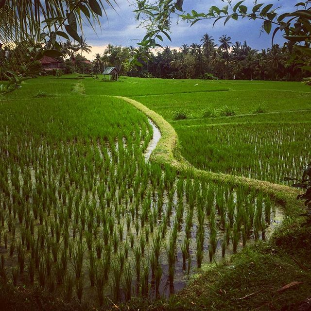 #ubud #ricefield #seminyak #indonesia #picoftheday #sunset #travel #traveling #instatravelhub #holiday #vacation #travelling #sun #hot #love #ilove #instatravel #tourist #traveler #instalive #instalife #tourism #global_hotshots #ig_today #ig_global_life #igglobalclub #zoomthelife #crisp_captures #thebaliguru