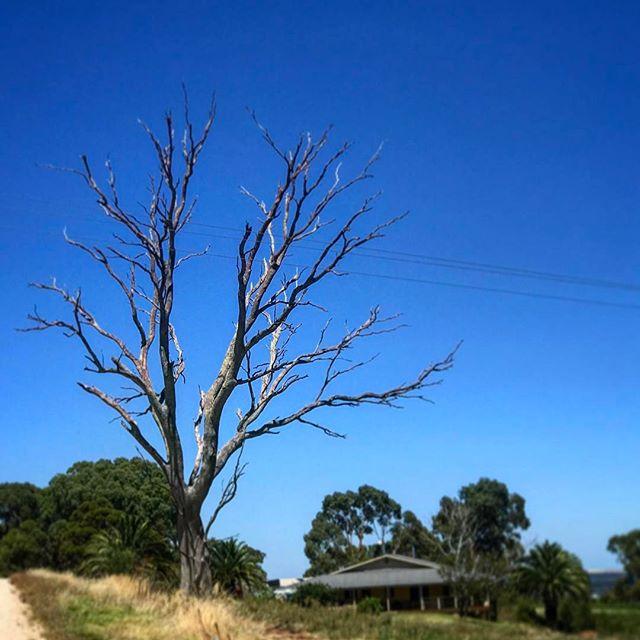 #adelaide #bluesky #barossa #barossavalley #oz #aussiegram #travel #seeaustralia #beautiful #amazing #love #iphoneonly #photooftheday #picoftheday #bestoftheday #seeaustralia #australiagram #summer #nature #tree #wine
