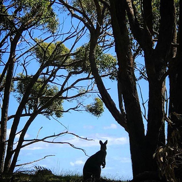 #cleland #clelandwildlifepark #kangaroo #southaustralia #australia #oz #aussiegram #travel #seeaustralia #beautiful #amazing #love #iphoneonly #photooftheday #picoftheday #bestoftheday #seeaustralia #australiagram #summer #nature #silhouette